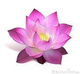 flor-de-loto-rosada-10958547