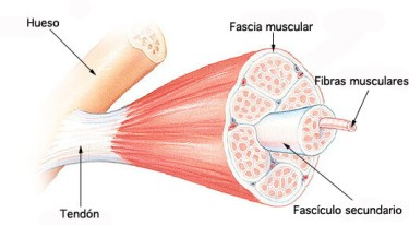 Fascia-–-Definición-composición-tipos-y-funciones